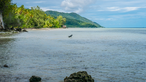 Dog hunting in Water during low Tide on Kri Island, Raja Ampat, Indonesia, West Papua - Stock Photo - Images
