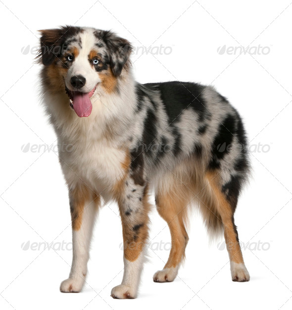 Australian Shepherd dog, 12 months old, standing in front of white background - Stock Photo - Images