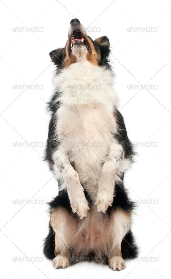Border collie on hind legs in front of white background - Stock Photo - Images