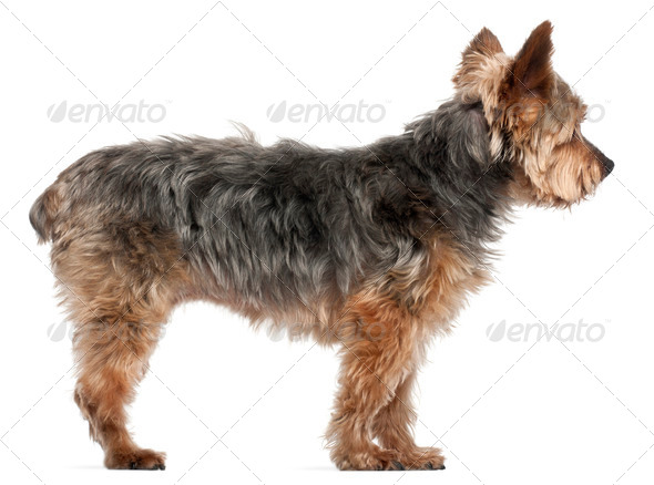 Yorkshire Terrier, 14 and a half years old, standing in front of white background - Stock Photo - Images