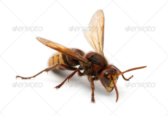 European hornet, Vespa crabro, in front of white background - Stock Photo - Images