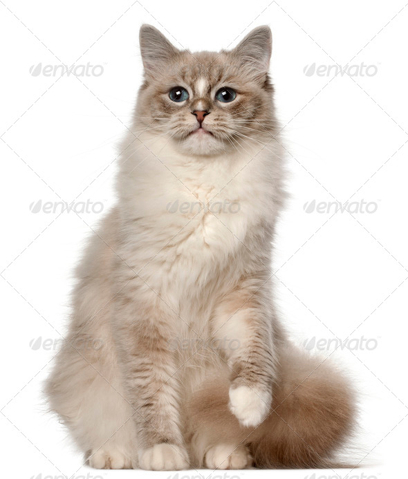 Ragdoll cat, 1 year old, sitting in front of white background - Stock Photo - Images