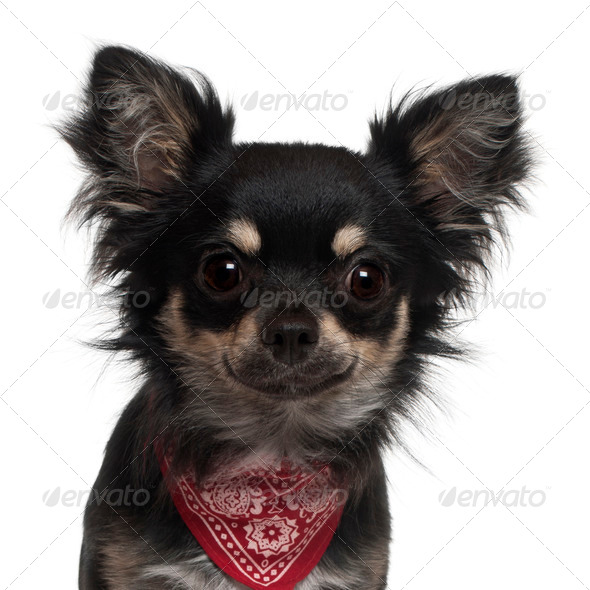 Close-up of Chihuahua wearing handkerchief, 1 year old, in front of white background - Stock Photo - Images