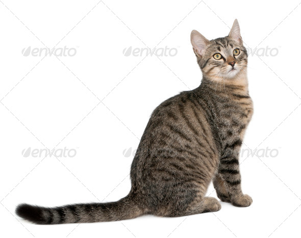 Mixed-breed cat, Felis catus, 6 months old, sitting in front of white background - Stock Photo - Images