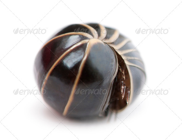 Glomeris marginata rolling itself up into a ball. Is a common European species of pill millipede - Stock Photo - Images