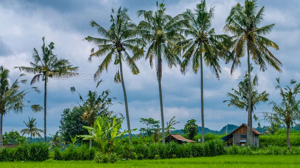 Some Coconut Palm Trees near Rice tarrace, Sidemen. Bali, Indonesia - Stock Photo - Images
