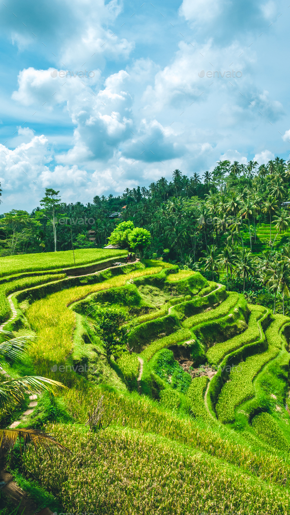 Moving rainy clouds over amazing tegalalang Rice Terrace field with beautiful palm trees growing in - Stock Photo - Images