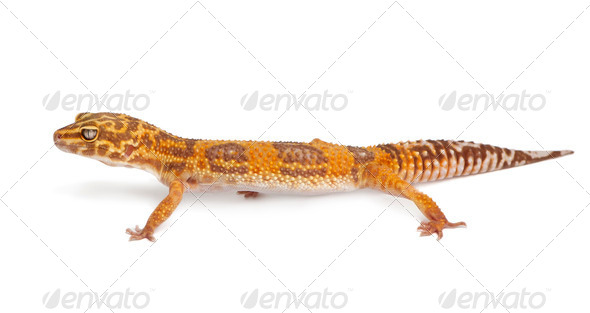Albino Orange Leopard gecko, Eublepharis macularius, in front of white background - Stock Photo - Images