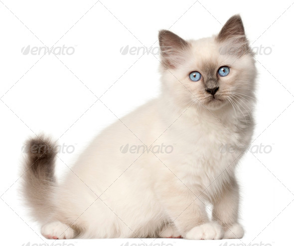 Birman kitten, 3 months old, sitting in front of white background - Stock Photo - Images