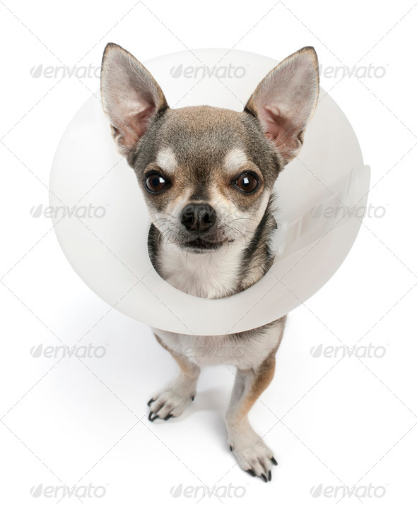 Chihuahua, 4 years old, wearing a space collar in front of white background - Stock Photo - Images