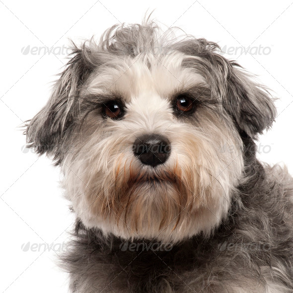 Close-up of Miniature Schnauzer, 3 years old, in front of white background - Stock Photo - Images
