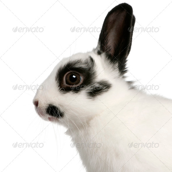 Close-up of Dalmatian rabbit, 2 months old, Oryctolagus cuniculus, in front of white background - Stock Photo - Images