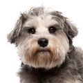 Close-up of Miniature Schnauzer, 3 years old, in front of white background