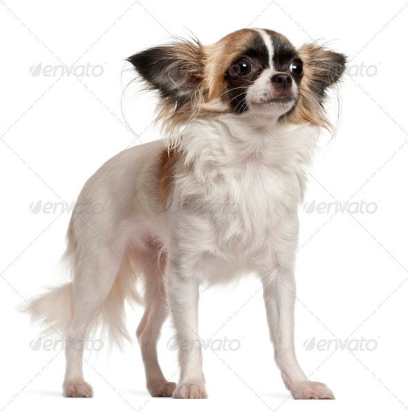 Chihuahua, 10 months old, sitting in front of white background - Stock Photo - Images