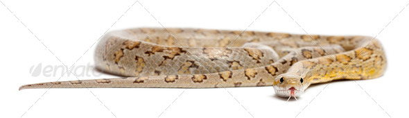 Amber Corn Snake, Pantherophis guttatus, in front of white background - Stock Photo - Images