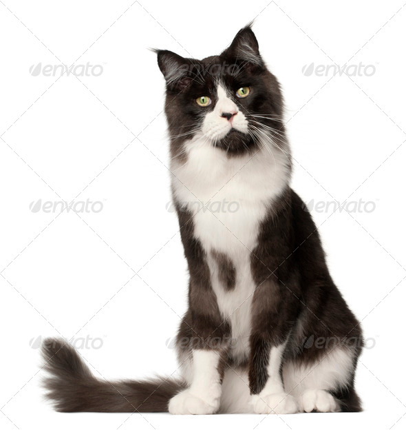 Maine Coon cat, 15 months old, sitting in front of white background - Stock Photo - Images