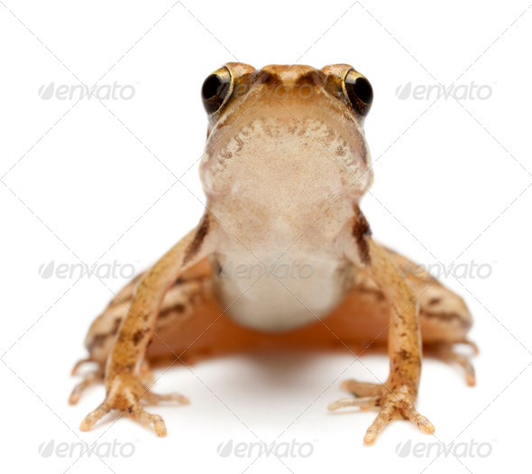 Young Common Frog, Rana temporaria, in front of white background - Stock Photo - Images