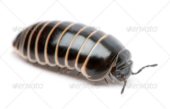 Glomeris marginata. Is a common European species of pill millipede - Stock Photo - Images