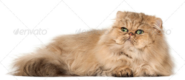 Persian cat, in front of white background - Stock Photo - Images
