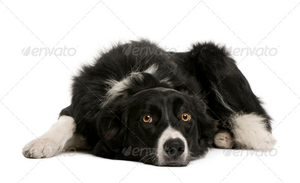 Border collie, 7 months old, sitting in front of white background, studio shot - Stock Photo - Images