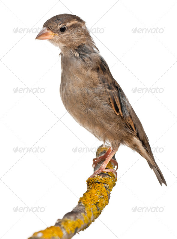Female House Sparrow, Passer domesticus, 4 months old, on a branch in front of white background - Stock Photo - Images