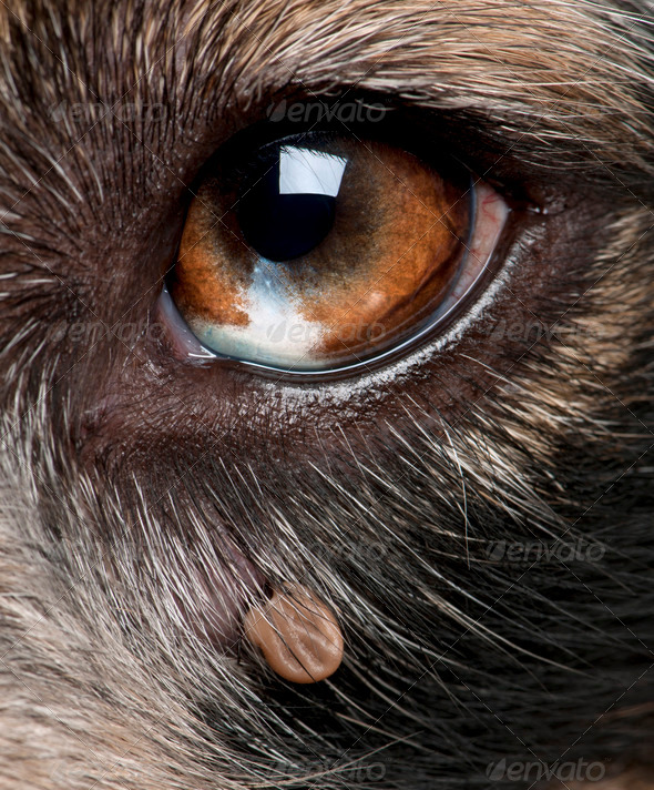 Close-up of Tick attached next to an Australian Shepherd's eye - Stock Photo - Images