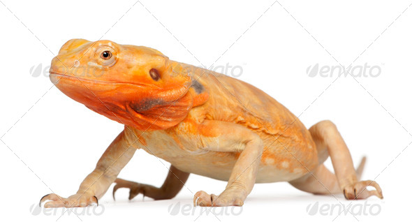 Central Bearded Dragon, Pogona vitticeps, in front of white background - Stock Photo - Images