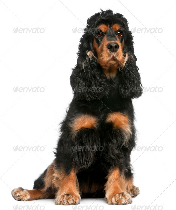 English Cocker Spaniel, 2 years old, sitting in front of white background - Stock Photo - Images