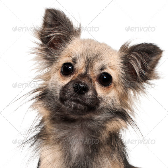 Close-up of Chihuahua, 1 year old, in front of white background - Stock Photo - Images