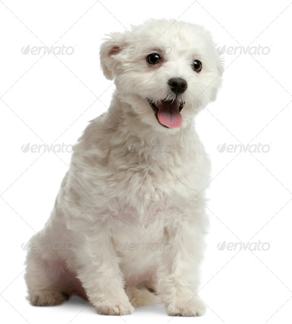 Maltese dog, 1 year old, sitting in front of white background - Stock Photo - Images