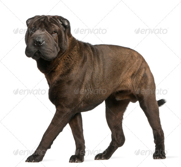 Shar Pei, 11 months old, standing in front of white background - Stock Photo - Images