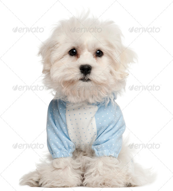 Maltese puppy dressed in blue, 3 months old, in front of white background - Stock Photo - Images