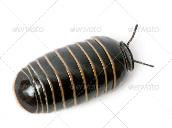 Glomeris marginata. Is a common European species of pill millipede - Stock Photo - Images