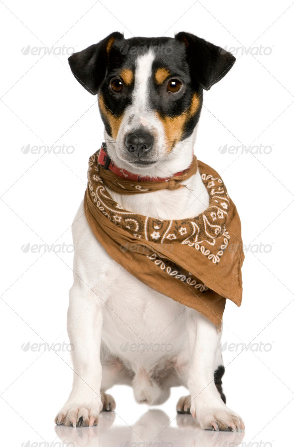 Jack Russell Terrier, 18 months old, wearing bandana in front of white background - Stock Photo - Images