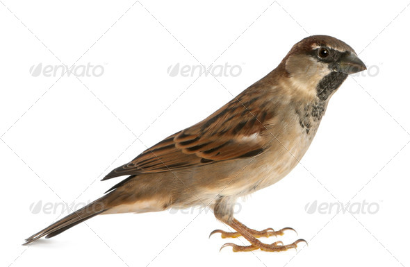male House Sparrow - Stock Photo - Images