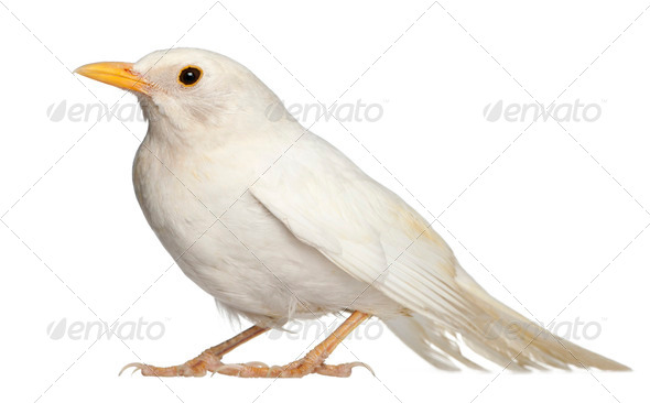 White Common Blackbird - Turdus merula - Stock Photo - Images