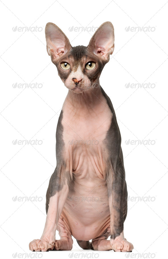 Sphynx cat, 7 months old, sitting in front of white background - Stock Photo - Images