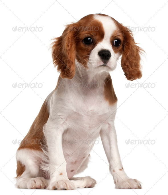 Cavalier King Charles Spaniel puppy, 3 months old, sitting in front of white background - Stock Photo - Images