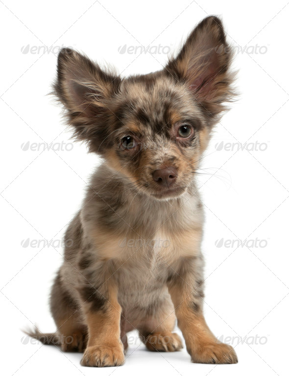 Chihuahua, 4 months old, sitting in front of white background - Stock Photo - Images