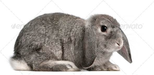 French Lop rabbit, 2 months old, Oryctolagus cuniculus, sitting in front of white background - Stock Photo - Images