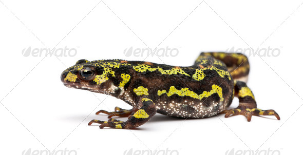 Marbled Newt - Triturus marmoratus - Stock Photo - Images