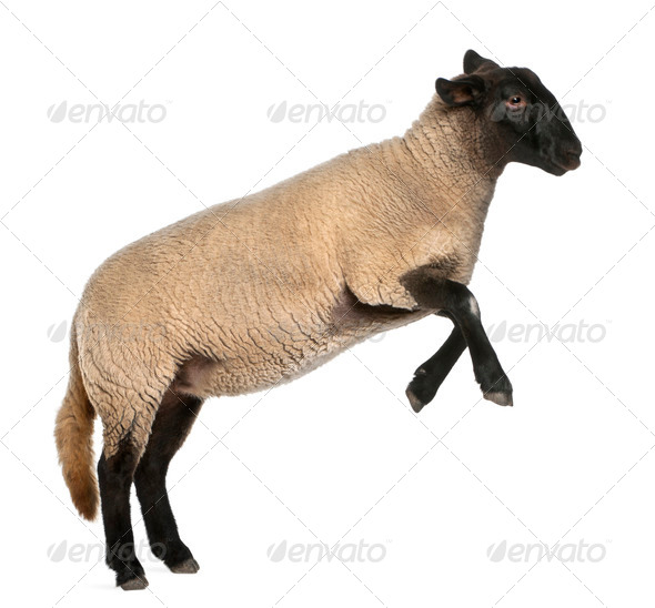 Female Suffolk sheep, Ovis aries, 2 years old, jumping in front of white background - Stock Photo - Images