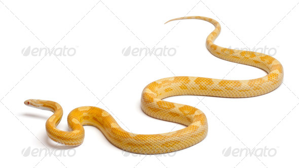 Butter mothley Corn Snake or Red Rat Snake, Pantherophis guttatus, in front of white background - Stock Photo - Images