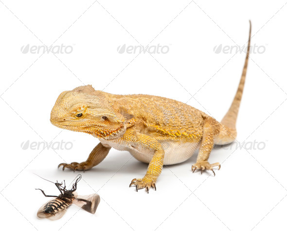 Central Bearded Dragon, Pogona vitticeps, looking at a Cockroach in front of white background - Stock Photo - Images