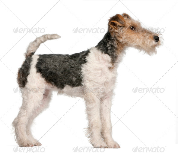 Fox Terrier puppy, 4 months old, in front of white background - Stock Photo - Images