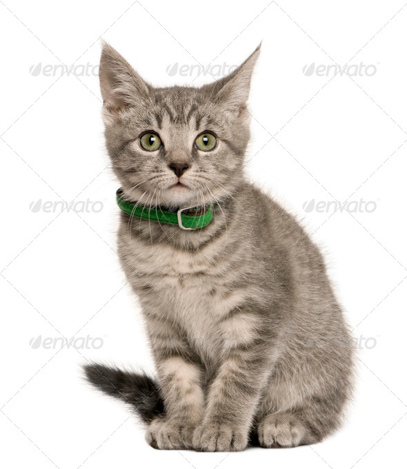 Kitten European cat, 3 months old, sitting in front of white background - Stock Photo - Images