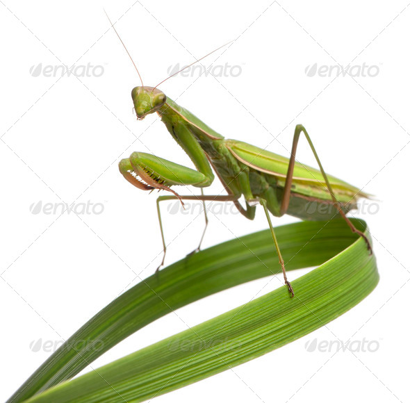 Female European Mantis or Praying Mantis, Mantis religiosa on grass, in front of white background - Stock Photo - Images