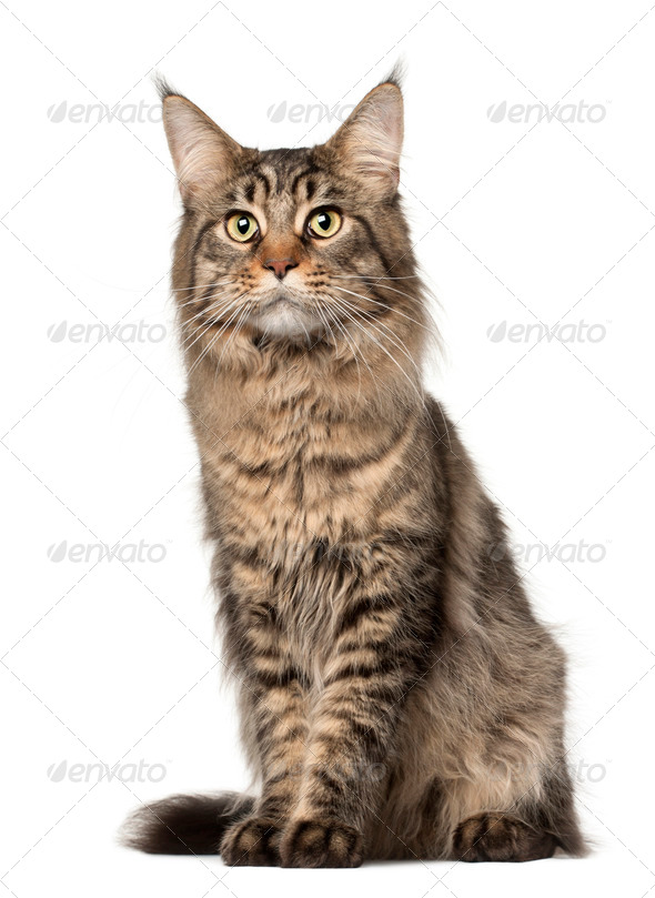 Maine Coon cat, 2 years old, sitting in front of white background - Stock Photo - Images