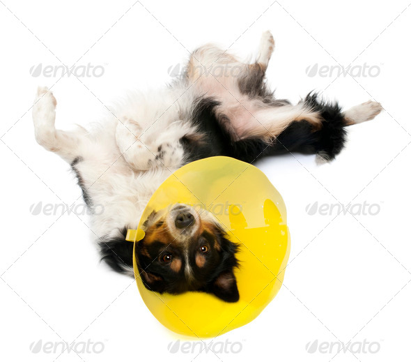 Border collie wearing a space collar lying in front of white background - Stock Photo - Images