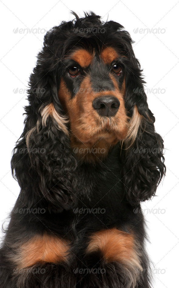 Close-up of English Cocker Spaniel, 2 years old, in front of white background - Stock Photo - Images